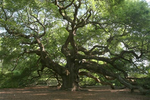 Framed Angel Oak 9098 Print