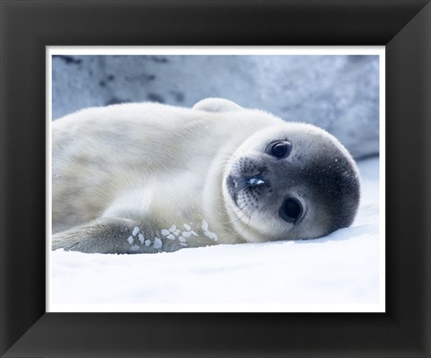 Framed Baby Seal Print